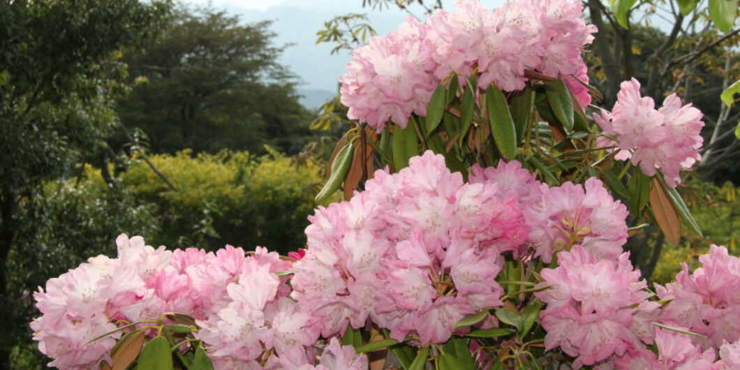 SHAKUNAGE (Rhododendron)