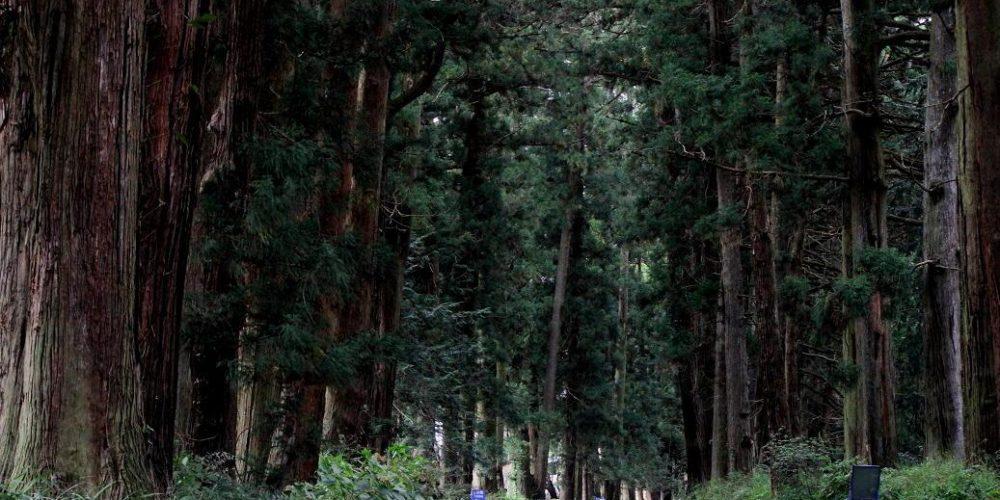 Kyukaidou – Old Highway – Suginamiki in Hakone