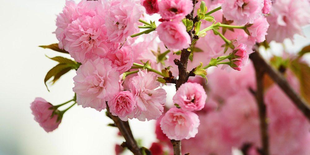sakura matsuri in nakameguro