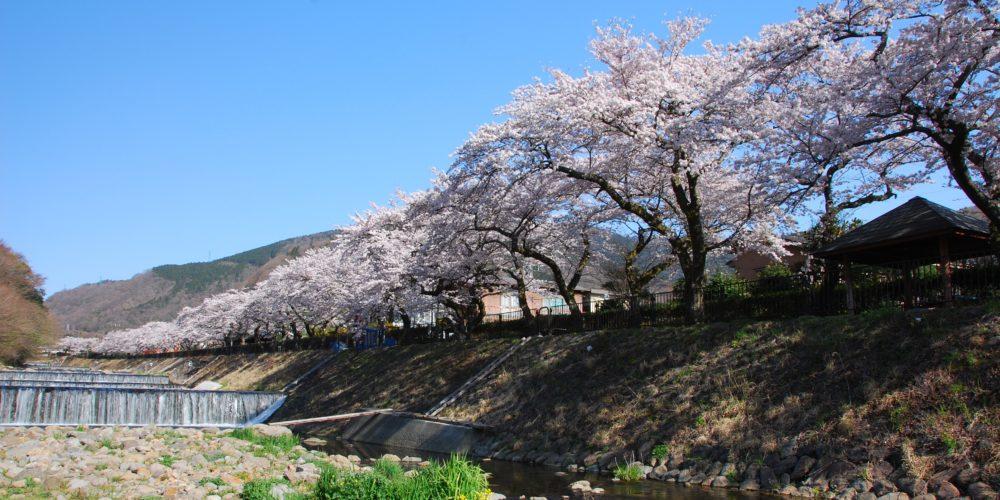 Hakone Sakura Blossoms Festival in Miyagino