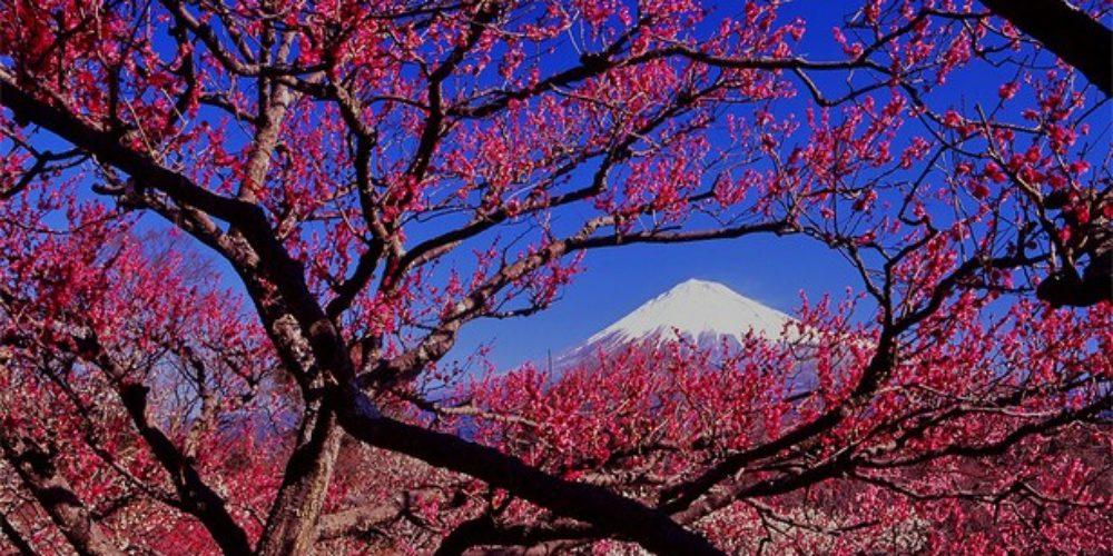 Setagaya Ume festival plum Blossom