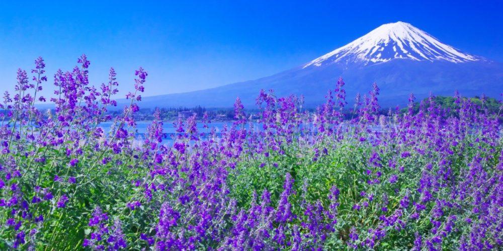 Oishi Park Fuji Kawaguchi lake