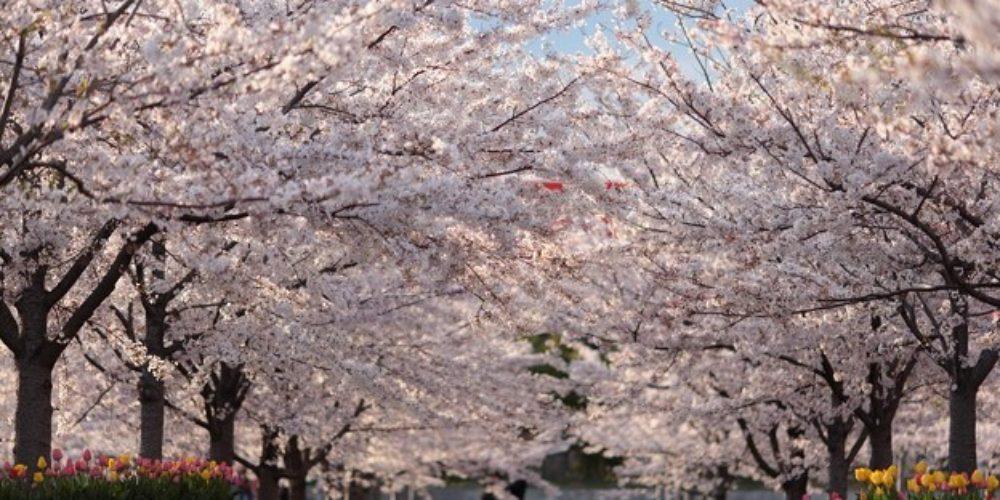 Sakura tsutsumidouri hana matsuri at Sumida-ku