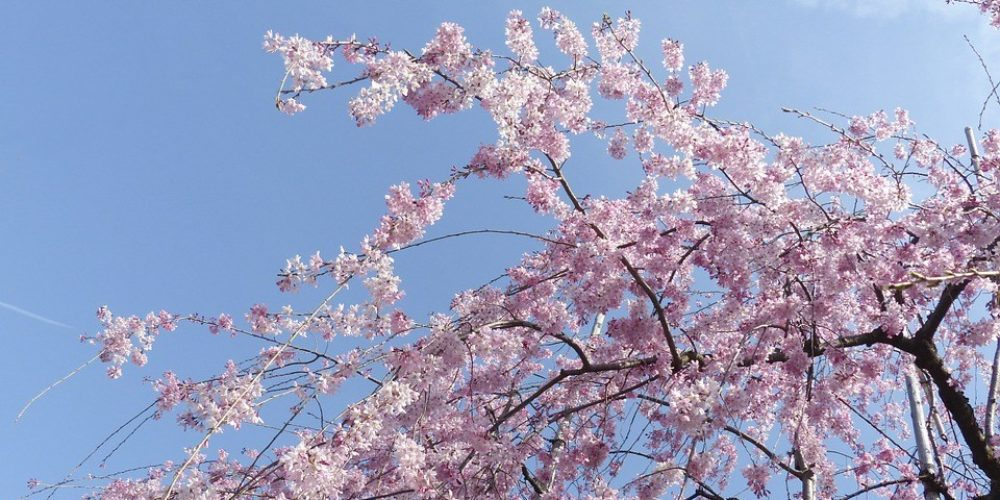 Sakura SAKASO Matsuri at Asukayama park