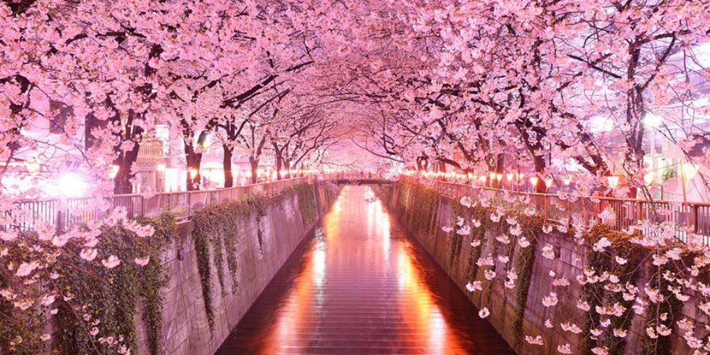 SAKURA Cherry Blossoms in Tokyo